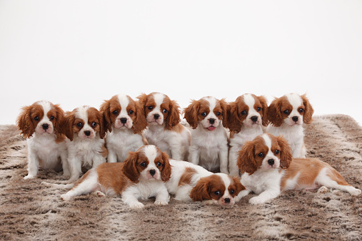ペット「Ten Cavalier King Charles Spaniel puppies in two rows」:スマホ壁紙(17)