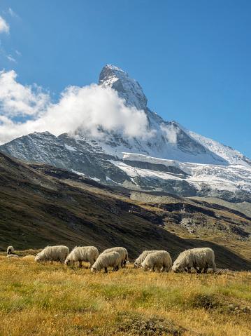 Pennine Alps「Valais Blacknose Sheep with Matterhorn in background, Zermatt, Valais Canton, Switzerland」:スマホ壁紙(0)