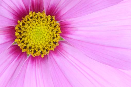 コスモス「Centre of dainty pink cosmos flower」:スマホ壁紙(16)
