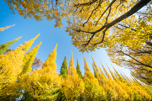 Meiji Jingu Gaien「Rows of autumn leaves gingko trees stand in the blue sky along the both side of the Gingko Tree Avenue at Jingu Gaien, Chhiyoda Ward, Tokyo Japan on November 17 2017.」:スマホ壁紙(3)