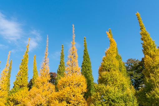 Meiji Jingu Gaien「Rows of autumn leaves Ginkgo Tree stand in the blue sky at the Ginkgo Tree Avenue in Jingu Gaien, Chhiyoda Ward, Tokyo Japan on November 17 2017. Clouds move over the Ginkgo trees.」:スマホ壁紙(8)