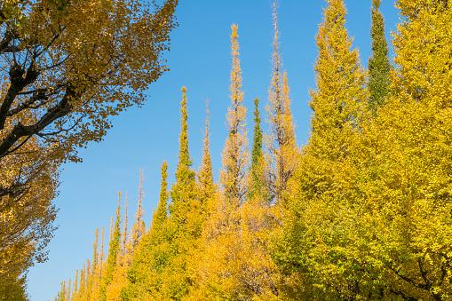 明治神宮外苑「Rows of autumn leaves Ginkgo Tree stand in the blue sky at the Ginkgo Tree Avenue in Jingu Gaien, Chhiyoda Ward, Tokyo Japan on November 17 2017. Clouds move over the Ginkgo trees.」:スマホ壁紙(14)