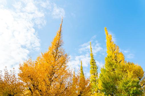 明治神宮外苑「Rows of autumn leaves Ginkgo Tree stand in the blue sky at the Ginkgo Tree Avenue in Jingu Gaien, Chhiyoda Ward, Tokyo Japan on November 17 2017. Clouds move over the Ginkgo trees.」:スマホ壁紙(16)