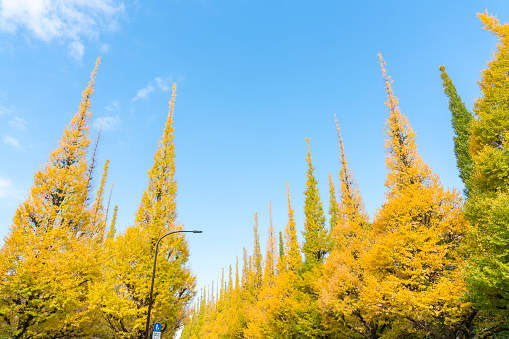 明治神宮外苑「Rows of autumn leaves Ginkgo Tree stand in the blue sky at the Ginkgo Tree Avenue in Jingu Gaien, Chhiyoda Ward, Tokyo Japan on November 17 2017. Clouds move over the Ginkgo trees.」:スマホ壁紙(8)