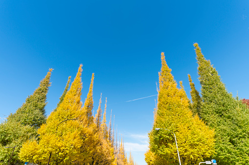 明治神宮外苑「Rows of autumn leaves ginkgo trees stand along both side of the  Ginkgo Tree Avenue under the blue sky at Jingu Gaien, Chhiyoda Ward, Tokyo Japan on November 15 2017.」:スマホ壁紙(5)