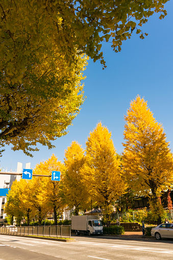 Treelined「Rows of autumn leaves Ginkgo trees stand along both side of the street at Ochanomizu, Bunkyo Ward Tokyo Japan on November 25 2017.」:スマホ壁紙(14)