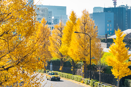 Treelined「Rows of autumn leaves ginkgo trees stand along both side of the Street, and surround the traffic at Harajuku Jingumae Shibuya Tokyo Japan on November 26 2017.」:スマホ壁紙(10)