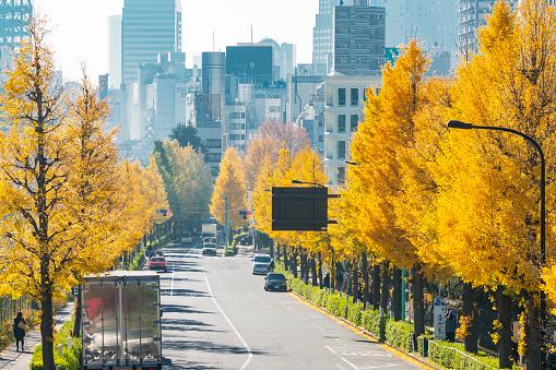 Treelined「Rows of autumn leaves ginkgo trees stand along both side of the Street and surround the traffic at Harajuku Jingumae Shibuya Tokyo Japan on November 26 2017.」:スマホ壁紙(5)