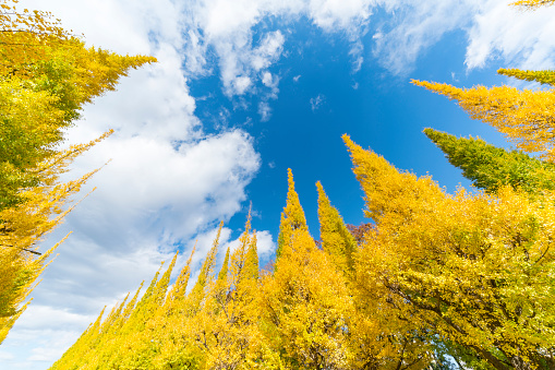 Meiji Jingu Gaien「Rows of autumn leaves ginkgo trees stand in the blue sky along the both side of Ginkgo Tree Avenue, and clouds move over the trees in the sky at Jingu Gaien, Chhiyoda Ward, Tokyo Japan on November 19 2017.」:スマホ壁紙(17)