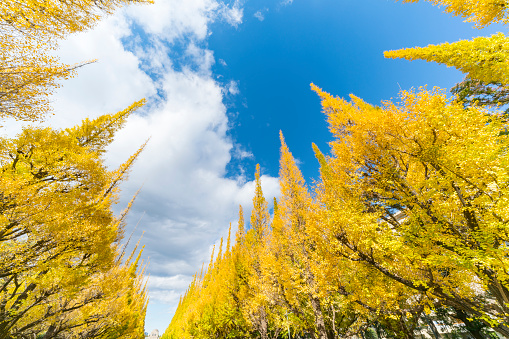Meiji Jingu Gaien「Rows of autumn leaves ginkgo trees stand in the blue sky along the both side of Ginkgo Tree Avenue, and clouds move over the trees in the sky at Jingu Gaien, Chhiyoda Ward, Tokyo Japan on November 19 2017.」:スマホ壁紙(11)