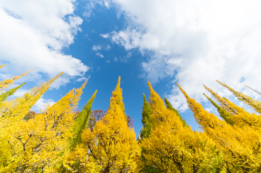 Meiji Jingu Gaien「Rows of autumn leaves ginkgo trees stand in the blue sky along the Ginkgo Tree Avenue, and clouds move over the trees in the sky at Jingu Gaien, Chhiyoda Ward, Tokyo Japan on November 19 2017.」:スマホ壁紙(10)