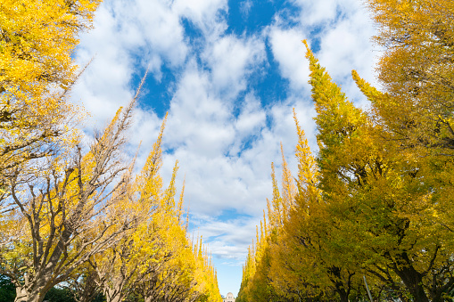 Meiji Jingu Gaien「Rows of autumn leaves ginkgo trees stand in the blue sky along the both side of Ginkgo Tree Avenue, and clouds move over the trees in the sky at Jingu Gaien, Chhiyoda Ward, Tokyo Japan on November 19 2017.」:スマホ壁紙(19)