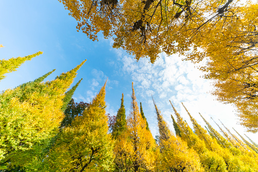 Meiji Jingu Gaien「Rows of autumn leaves ginkgo trees stand in blue sky along the both side of the Ginkgo Tree Avenue, and clouds move over the trees at Jingu Gaien, Chhiyoda Ward, Tokyo Japan on November 17 2017.」:スマホ壁紙(1)