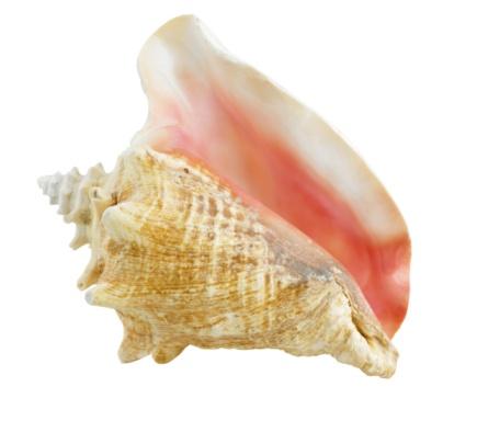 殻「Conch shell」:スマホ壁紙(16)