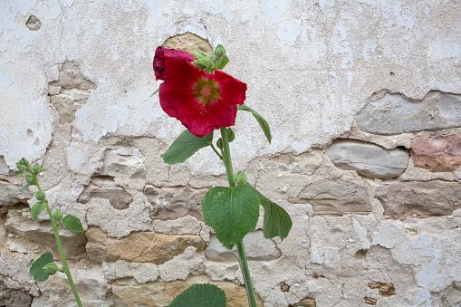 Nouvelle-Aquitaine「Purple Hollyhock against stone walls」:スマホ壁紙(5)