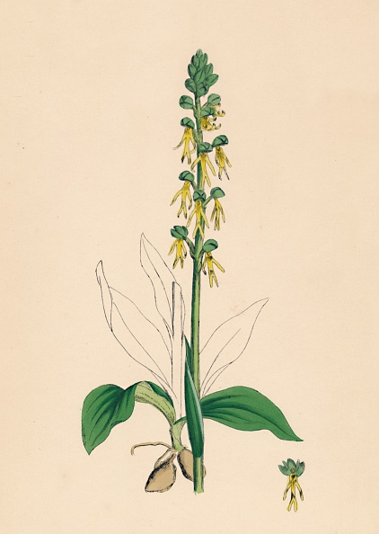 Petal「Aceras Anthropophora. Man Orchis」:写真・画像(10)[壁紙.com]