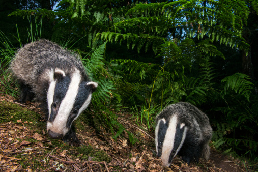 Fairy Tale「Badger cubs foraging in oak woods」:スマホ壁紙(2)