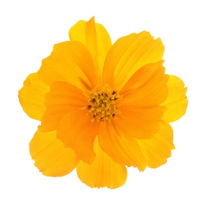 Cosmos Flower「Orange cosmos sulphureus flower on white square.」:スマホ壁紙(3)