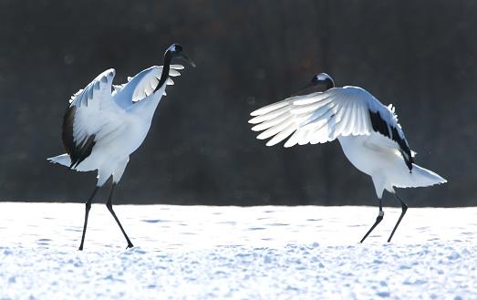 Ceremony「Japanese crane」:スマホ壁紙(17)