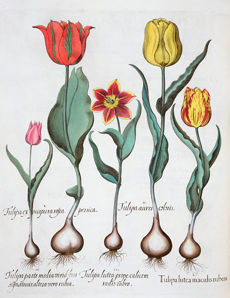 Botany「Tulips 1613」:写真・画像(7)[壁紙.com]