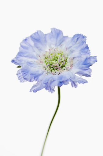 Pin Cushion「Scabious (Scabiosa caucasica), June」:スマホ壁紙(3)