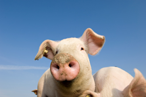 Pigpen「Young Outdoor Raised Pig」:スマホ壁紙(14)