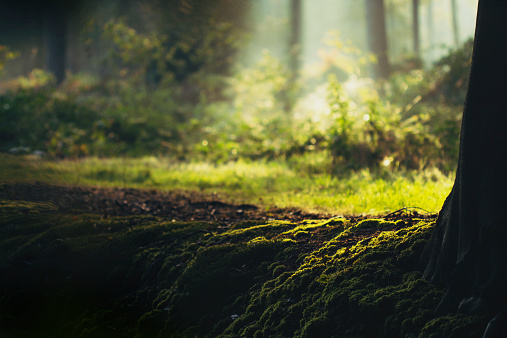 West Flanders「Belgium, Flanders, West Flanders, Brugge, Moss on tree root with sunlit forest glade in background」:スマホ壁紙(4)