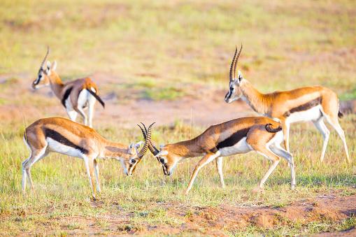 Antelope「Thompson Gazelles - fighting」:スマホ壁紙(14)