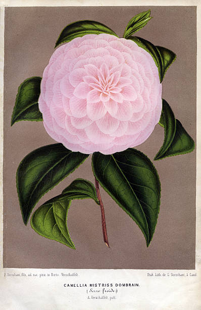Camellia Or Tea Flower:ニュース(壁紙.com)