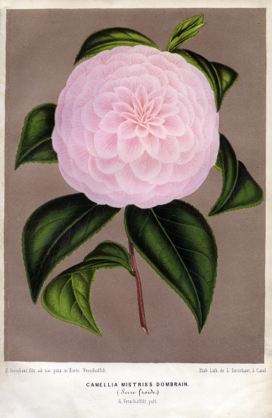 庭園「Camellia Or Tea Flower」:写真・画像(9)[壁紙.com]