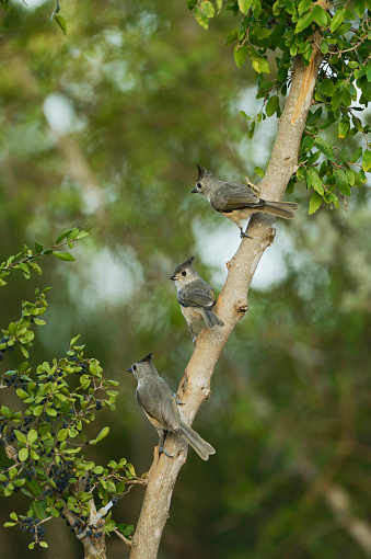 小枝「Black-crested Titmouse (Baeolophus bicolor) with young birds perching, Rio Grande Valley, South Texas, USA」:スマホ壁紙(2)