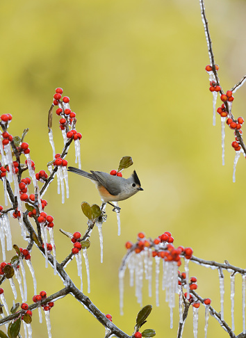 小枝「Black-crested Titmouse (Baeolophus bicolor) perching on icy branch of Possumhaw Holly (Ilex decidua) with berries, Hill Country, Texas, USA」:スマホ壁紙(3)