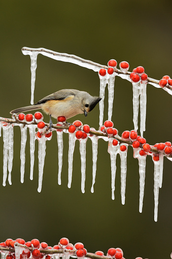 小枝「Black-crested Titmouse (Baeolophus bicolor) perching on icy branch of Possumhaw Holly (Ilex decidua) with berries, Hill Country, Texas, USA」:スマホ壁紙(5)
