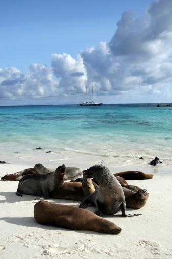 Sea Lion「Galapagos Sea Lions Basking on Beach」:スマホ壁紙(3)
