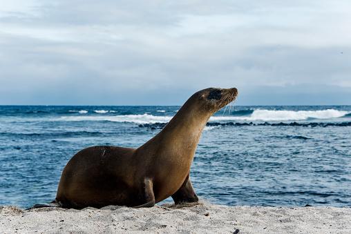 Sea Lion「Galapagos Sea Lion」:スマホ壁紙(16)