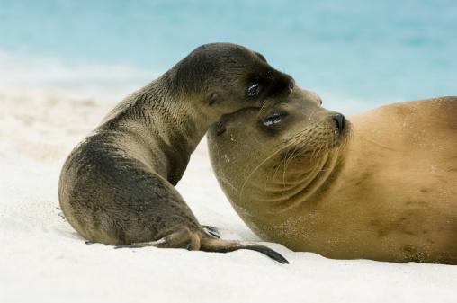 Sea Lion「Galapagos sea lion (Zalophus californianus wollebaeki) with pup」:スマホ壁紙(1)