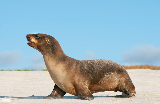 Sea Lion「Galapagos sea lion (Zalophus wollebaeki) Cerro Brujo, San Crist」:スマホ壁紙(15)