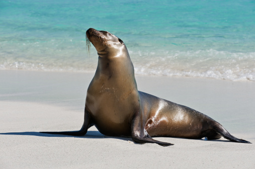 Shallow「Galapagos Seal Lion on a beach」:スマホ壁紙(0)