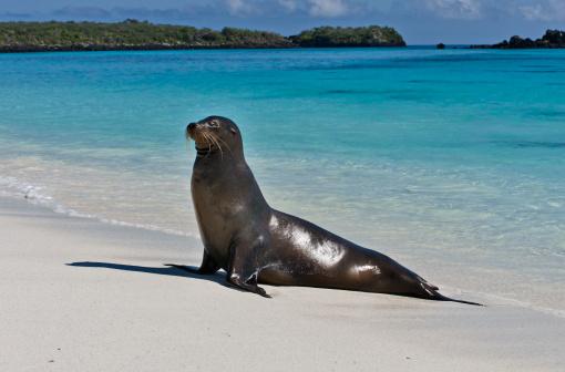 Shallow「Galapagos Seal Lion on a beach」:スマホ壁紙(2)