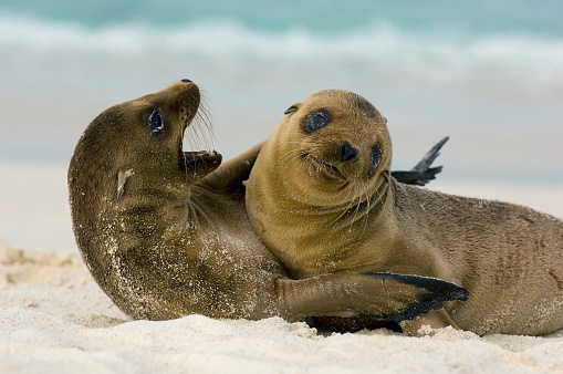Sea Lion「Galapagos Sea Lion Pups Playing」:スマホ壁紙(12)