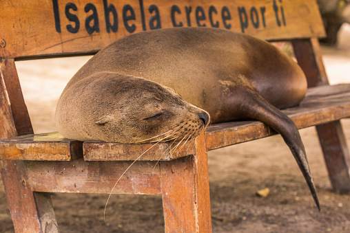 Sea Lion「Galapagos sea lion (Zalophus wollebaeki) asleep on wooden bench」:スマホ壁紙(16)