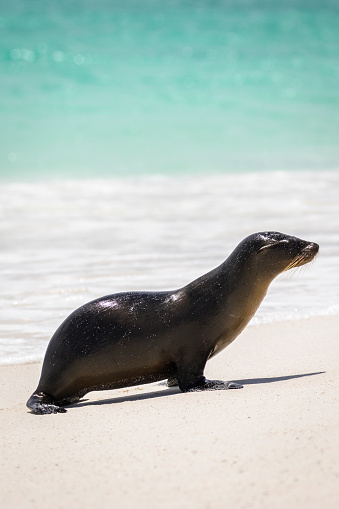 Sea Lion「Galapagos Sea Lion, Gardner Bay, Espanola Island」:スマホ壁紙(14)