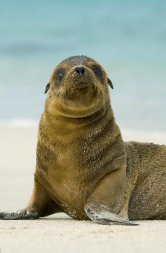 Sea Lion「Galapagos sea lion pup (Zalophus wollebaeki) on beach」:スマホ壁紙(2)