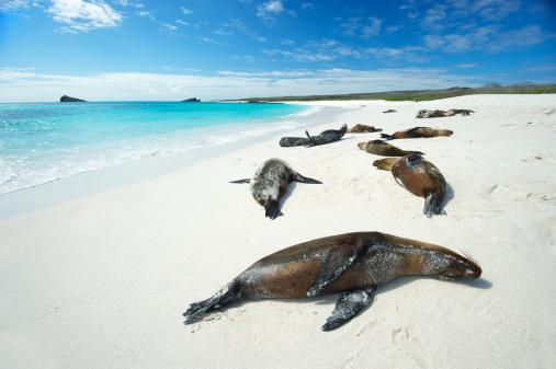 ガラパゴス諸島「ガラパゴスシーライオンて明るい太陽のビーチ」:スマホ壁紙(17)