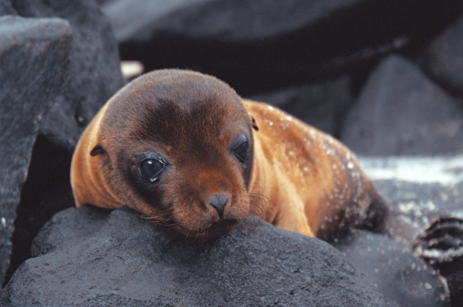 Sea Lion「Galapagos sea-lion」:スマホ壁紙(18)