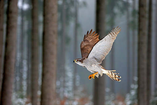 Hawk - Bird「Northern Goshawk, (Accipiter gentilis)」:スマホ壁紙(2)