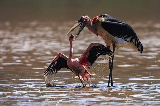 Lake Bogoria National Park「A Marabu stork has caught a lesser flamingo」:スマホ壁紙(8)