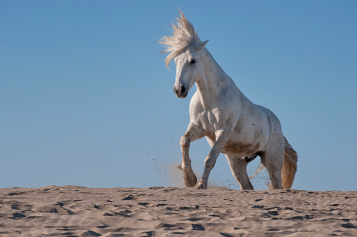 Low Angle View「A Camargue horse running on the beach」:スマホ壁紙(0)