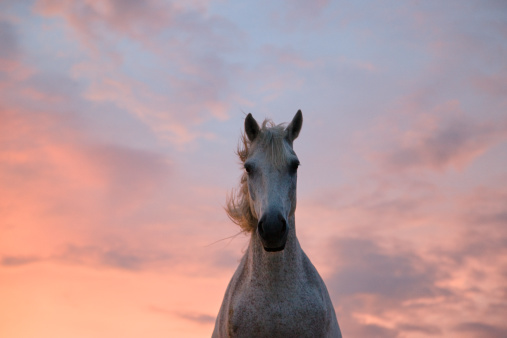 馬「Camargue horse at sunset, South France」:スマホ壁紙(6)