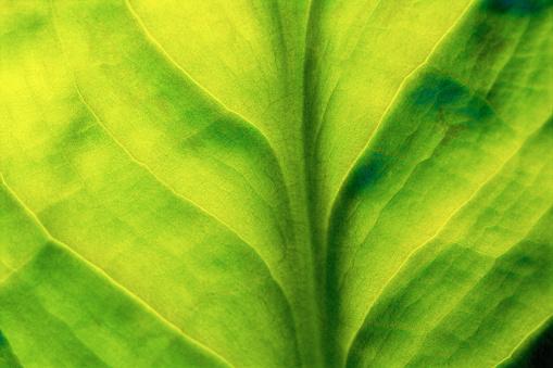 Algae「Skunk Cabbage Leaf」:スマホ壁紙(19)